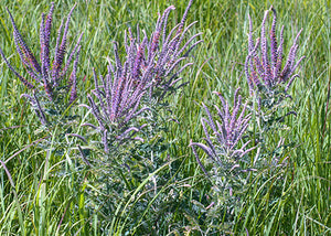 Amorpha canescens – Lead plant