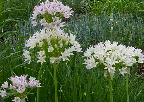 Allium Canadense – Meadow Garlic