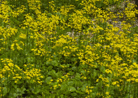 Packera aurea – Golden Ragwort