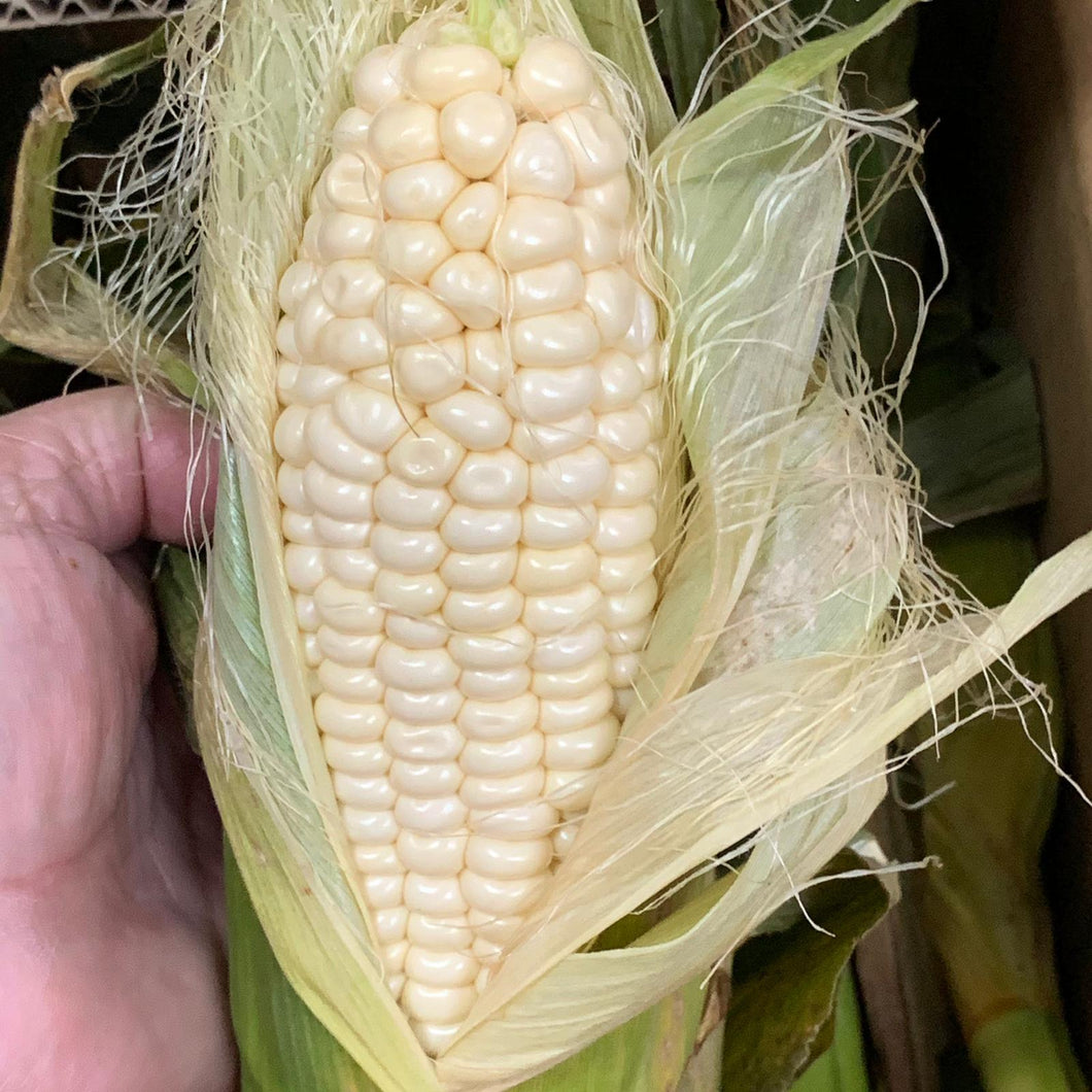 Sweet White Corn x 2 pcs