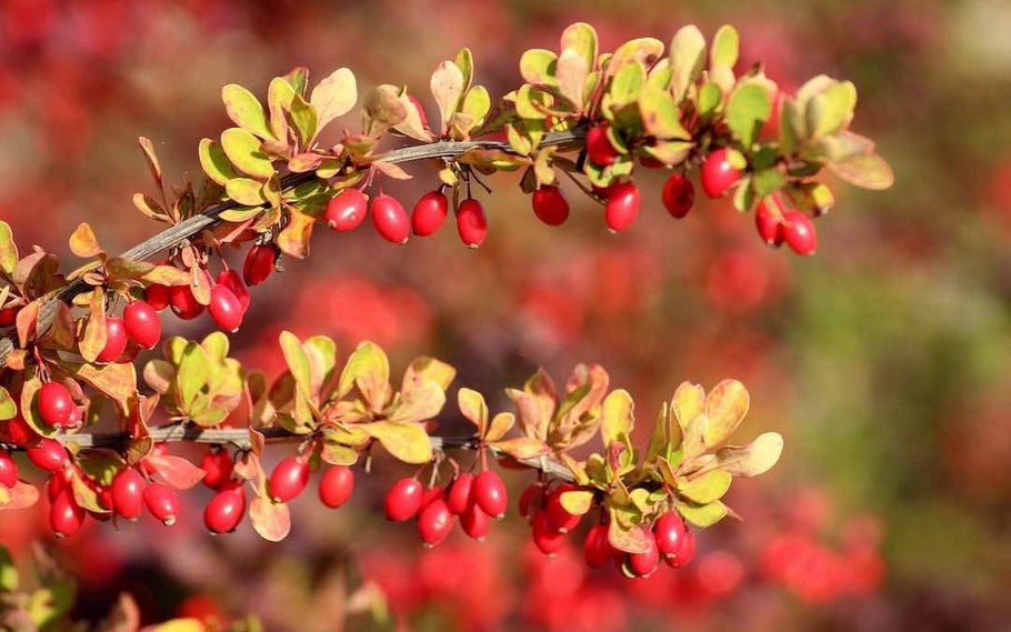 Everything you need to know about berberine