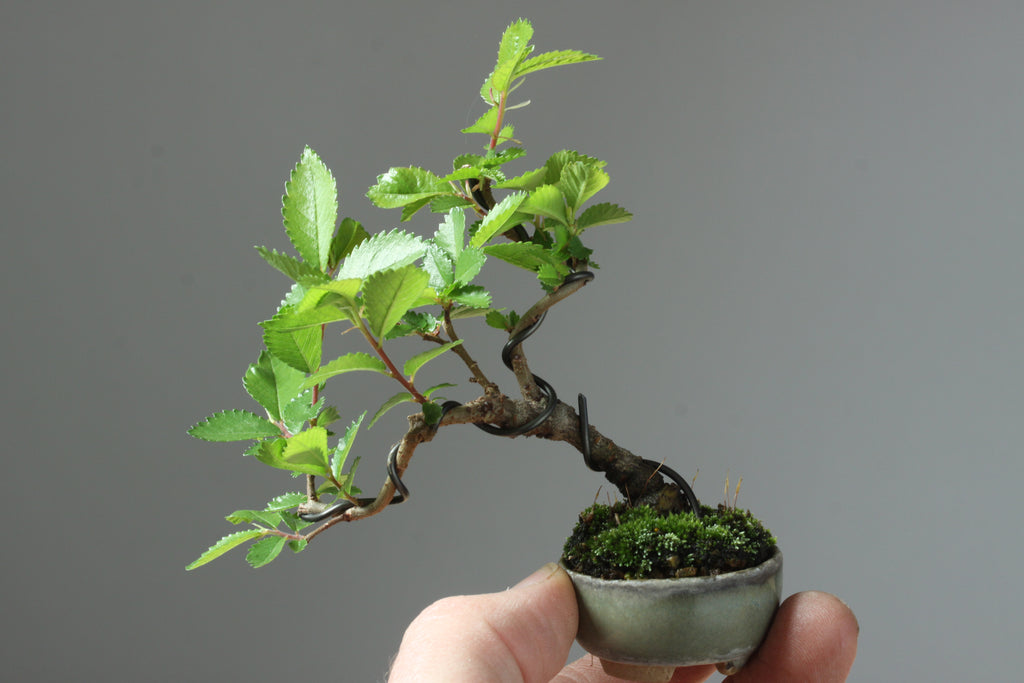 How to Work on Chinese Elm Mini-Bonsai