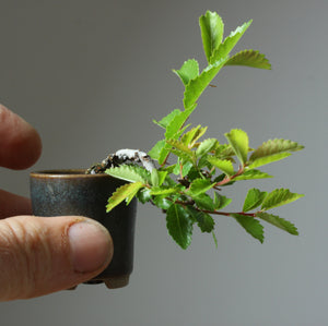 Three ways you can tell if your bonsai is healthy