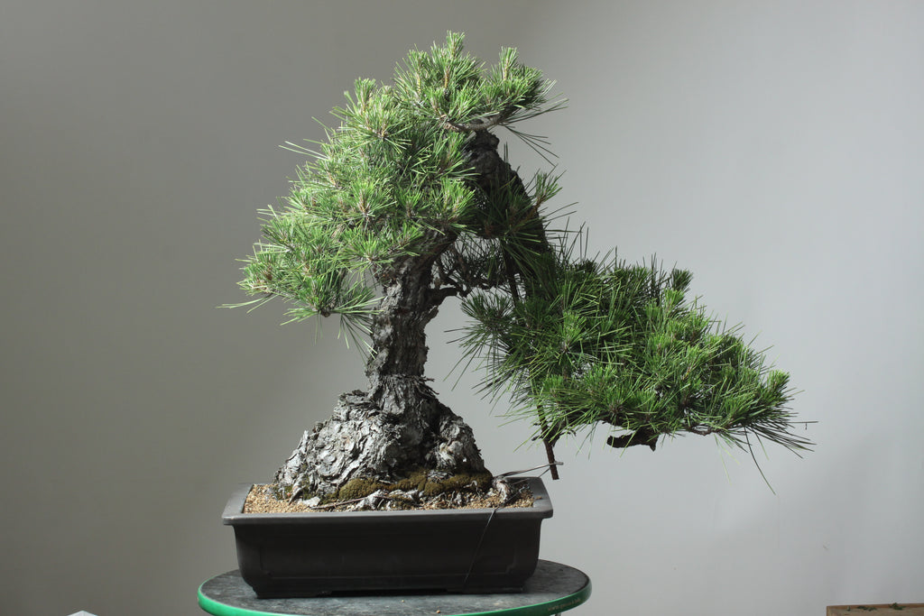 How long do bonsai trees live?