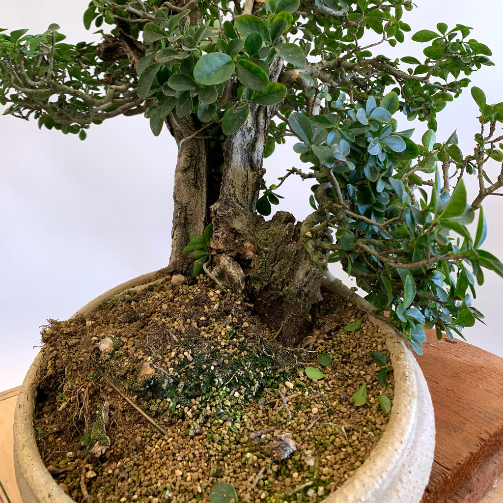 Crazy Emergency Bonsai Repotting!