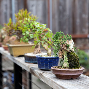 5 Tips for Starting a Bonsai Collection
