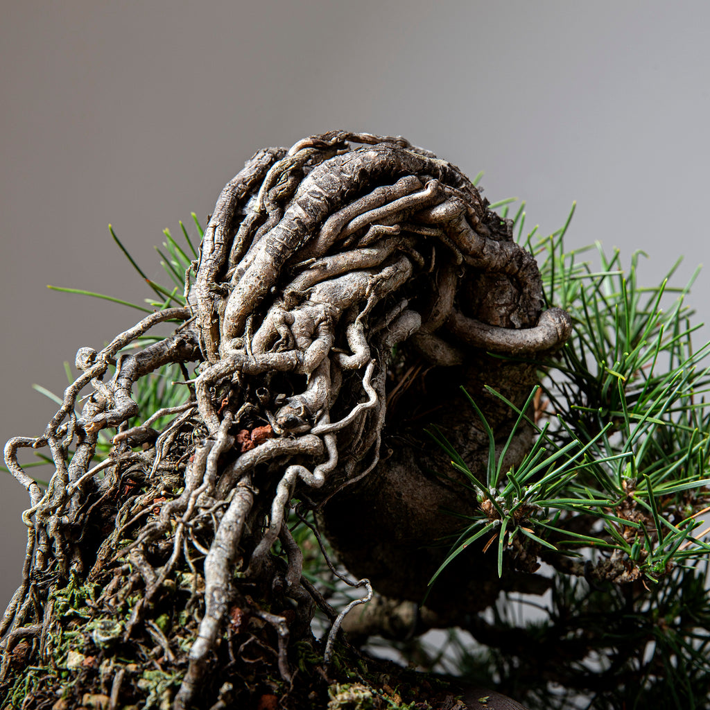 How to Create and Improve Exposed Root Bonsai