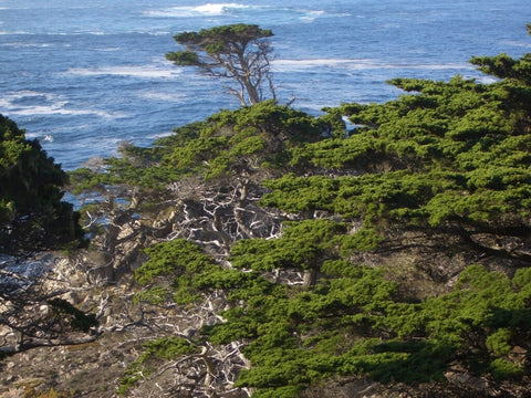 An Appreciation for Monterey Cypress