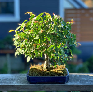 The Very Basics of Bonsai Trees