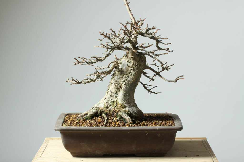 Follow this Advice to Improve your Deciduous Bonsai Trees