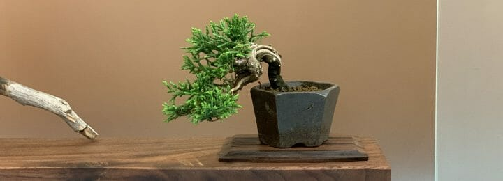Mame Kishu Juniper Bonsai