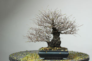 How to Mindfully Weed Bonsai and Remove Debris