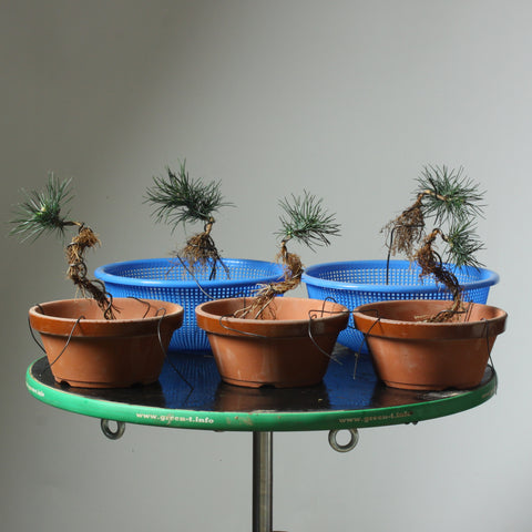 Photo of 5 Exposed Root Pines