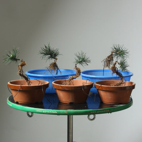 Live Online Seminar - Exposed Root Pines