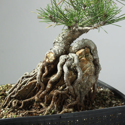 Photo of Root-Over-Rock Pine