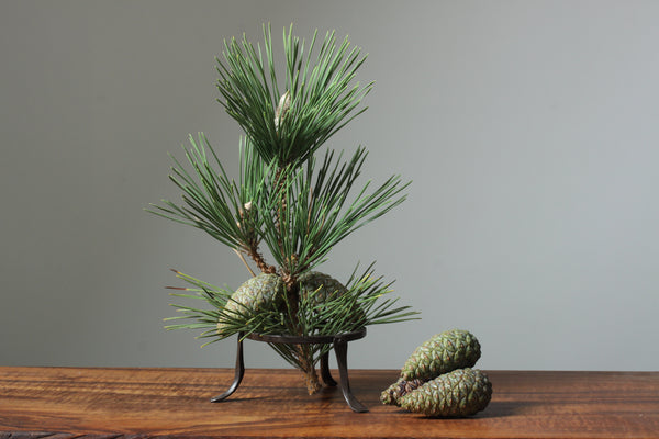 Photo, japanese black pine branch and cones