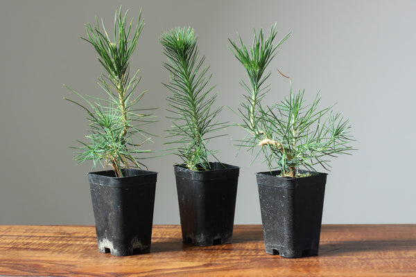 photo, three japanese black pine seedlings