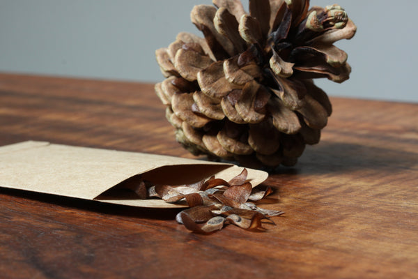 close up Photo, Japanese Black Pine seed with pine cone