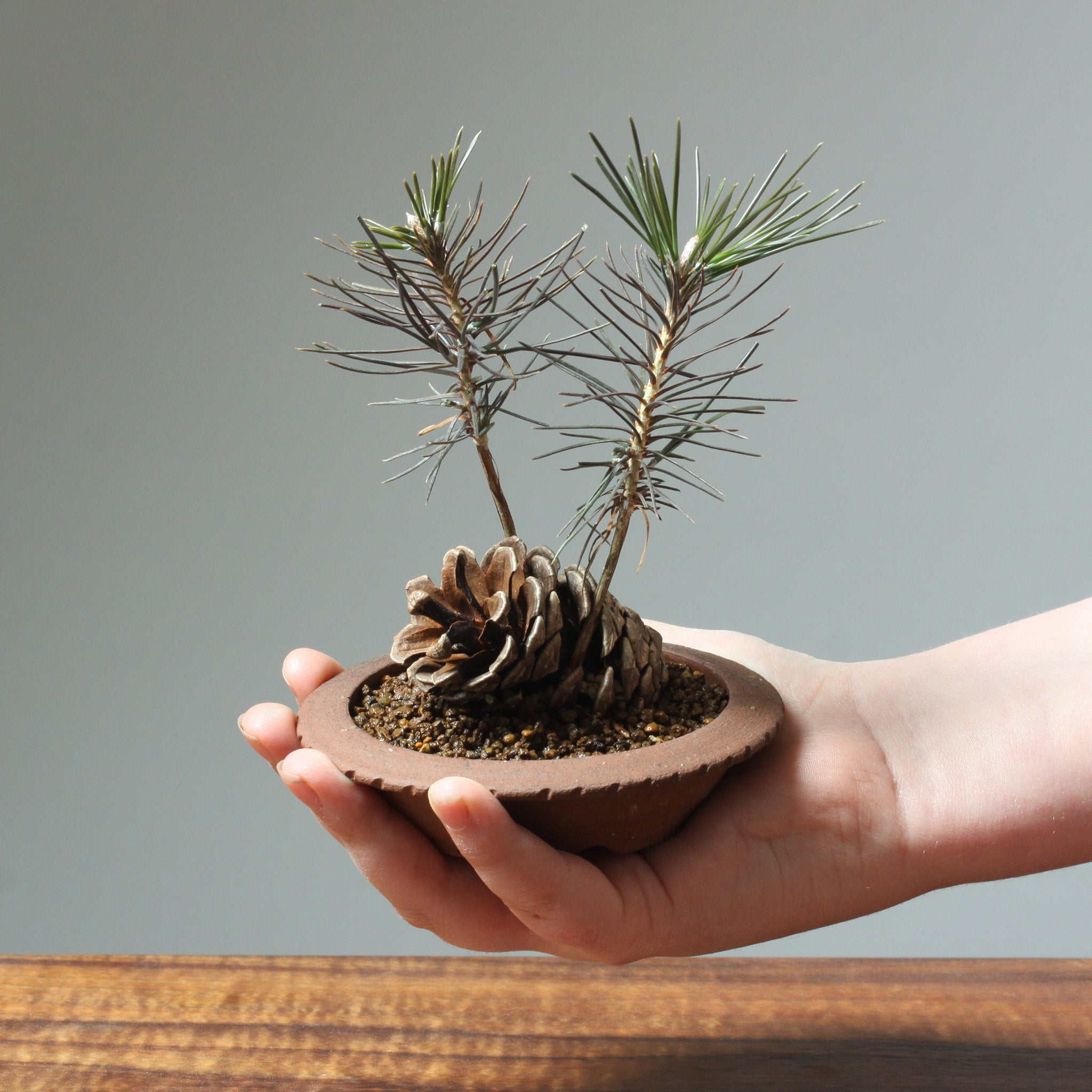 Photo of Baby Pine Tree Cone Planting in a man's hand