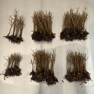 Photo of Zelcova Serrata Bare Root Seedlings