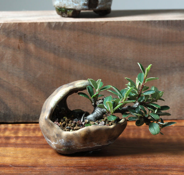 Mini Cotoneasters photo - Crescent pot by Eric Schrader