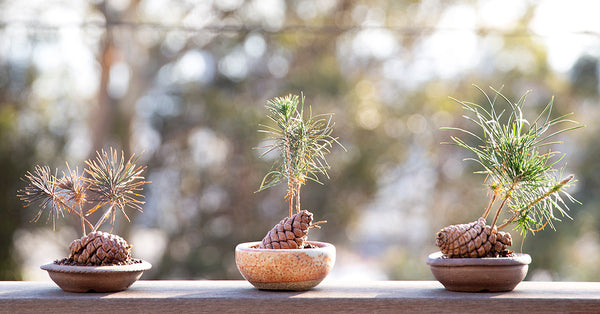 photo of 3 baby pine cone plantings