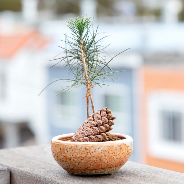 Photo of Baby Pine Tree Cone Planting on a deck rail