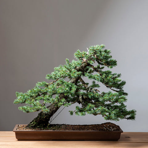 Slanting Norway Spruce photo