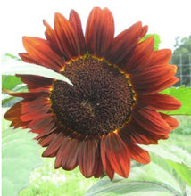 Load image into Gallery viewer, Velvet Queen Sunflower Seeds - Indie Indie Bang! Bang!