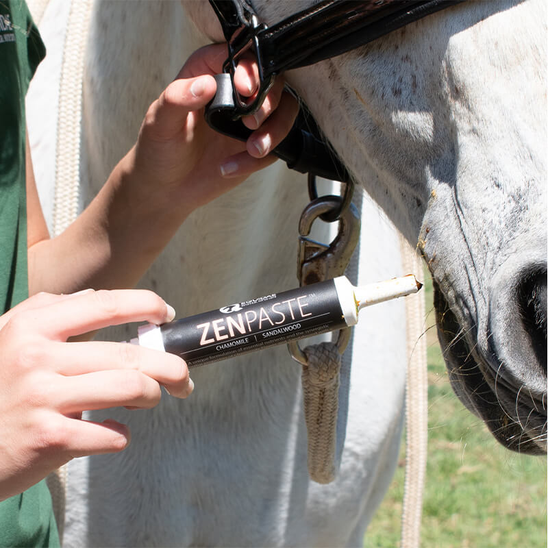 Zenpaste horse calming paste being given to stressed out horse which is anxious before a showjumping event in Australia