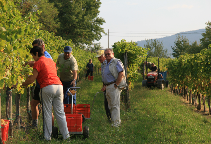 Vintage 2015 Progress Report – Collio, Friuli