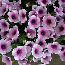 Load image into Gallery viewer, Petunia 6 Pots/Pack