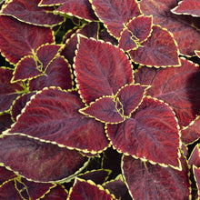 Load image into Gallery viewer, Coleus 6 Pots/Pack