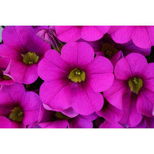Load image into Gallery viewer, Calibrachoa (Million Bells) 6 Pots/Pack