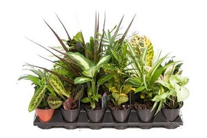 Tropicals Assorted