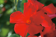 "Load image into Gallery viewer, Mandevilla Vine 6"" (18"" hoop)"