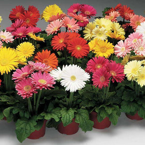 Gerbera Potted