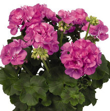 Load image into Gallery viewer, Geranium Hanging Baskets
