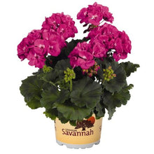 Load image into Gallery viewer, Geraniums, 6 Pots/Pack