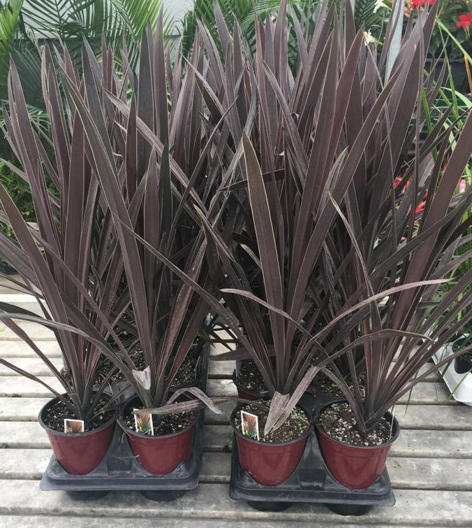 Cordyline Red Star Spike  5
