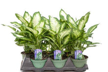 Load image into Gallery viewer, Dieffenbachia Maculata