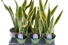 Load image into Gallery viewer, Sanseveria (Snake Plant)