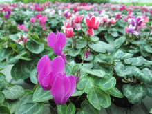 Load image into Gallery viewer, Cyclamen Persicum