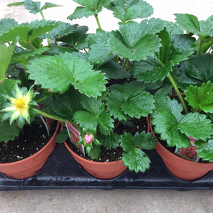 "Strawberry (Everbearing) 4"" Pot"