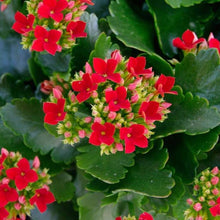 Load image into Gallery viewer, Kalanchoes 4.5 Inch
