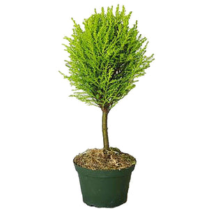 Lemon Cypress Topiary Single Ball