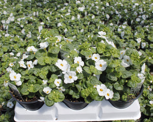Bacopa 6 Pots/Pack