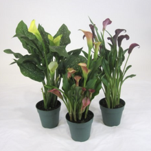 Load image into Gallery viewer, Calla Liliy - Zantedeschia