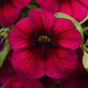 Calibrachoa (Million Bells) 6 Pots/Pack