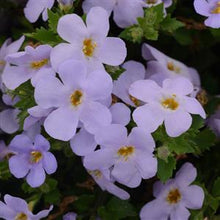 Load image into Gallery viewer, Bacopa 6 Pots/Pack